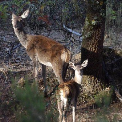 Ciervos en la reserva de Caza de Matallana, en Alía. Foto Carlos de Rodrigo