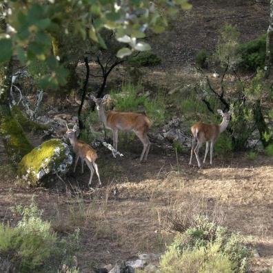Ciervos en la reserva de Caza de Matallana en Alía. Foto Carlos de Rodrigo