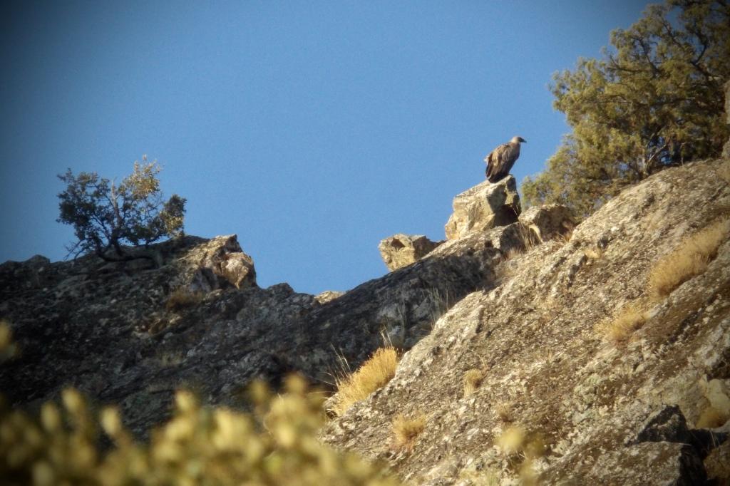Buitre leonado en el geoparque Villuercas Ibores Jara